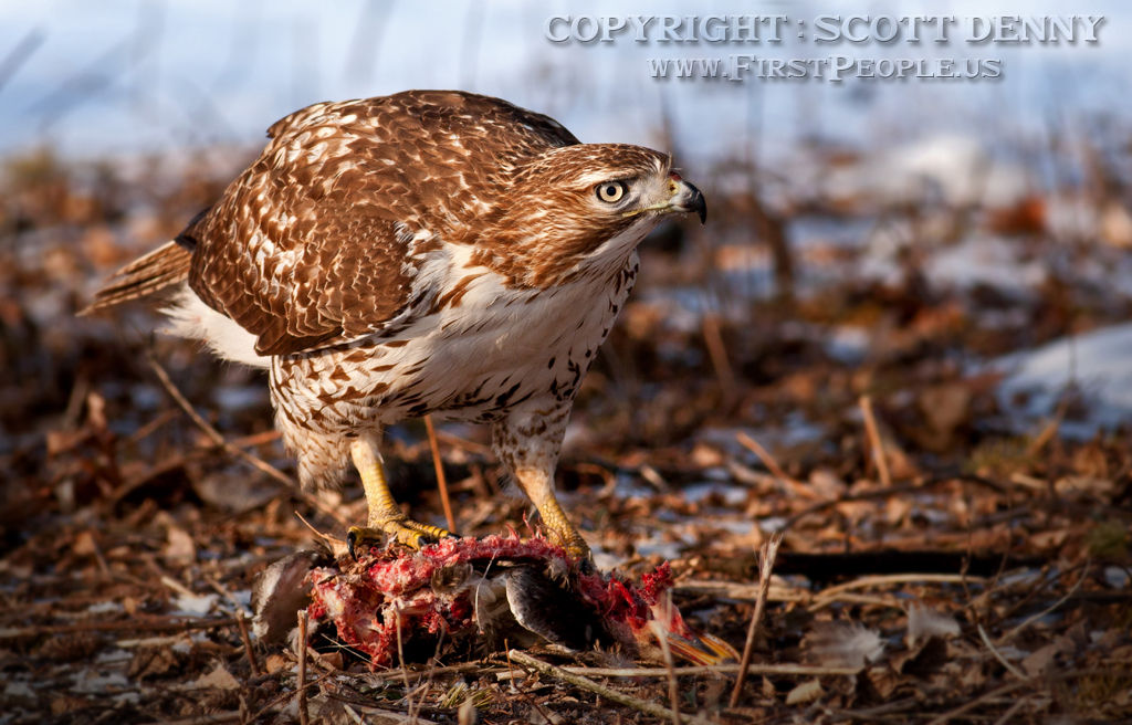 A Red-Tailed Hawk (Buteo Jamaicensis) eating a duck.