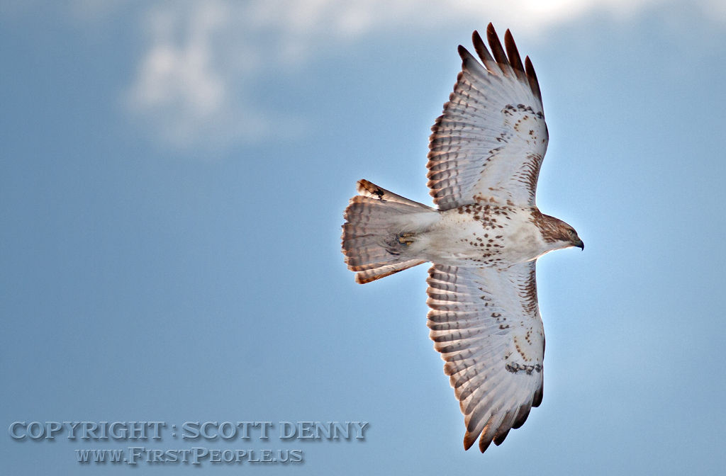 A Red-Tailed Hawk (Buteo Jamaicensis) in flight.