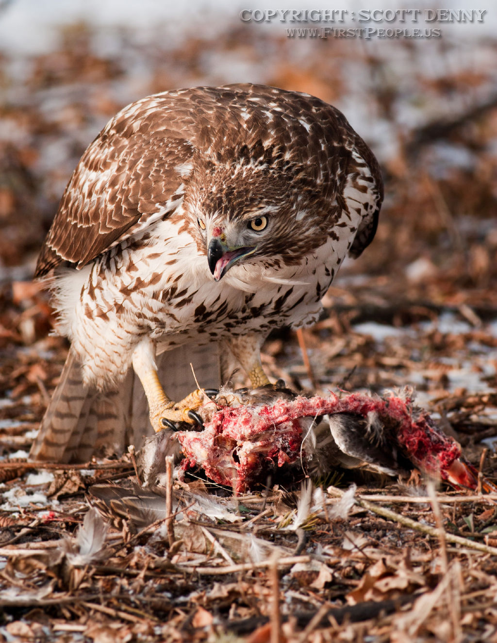 A Red-Tailed Hawk (Buteo Jamaicensis) having a bite to eat.