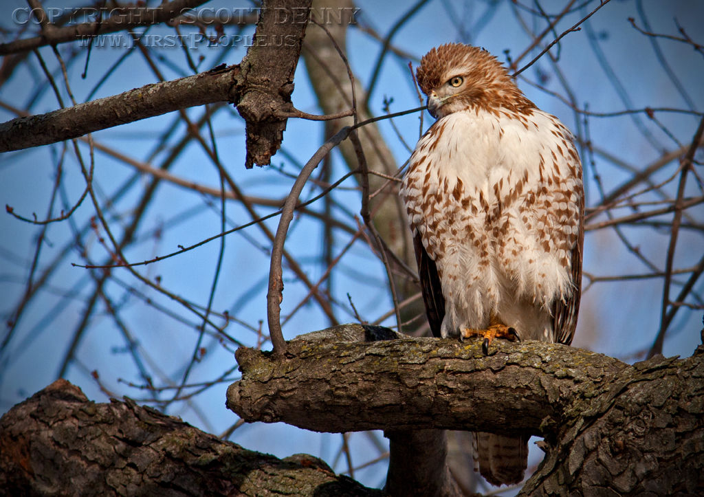 A Red-Tailed Hawk (Buteo Jamaicensis) perched in a tree.
