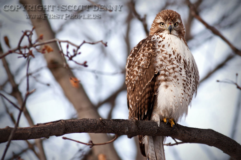 A Red-Tailed Hawk (Buteo Jamaicensis) perched in a tree #2.