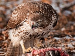 A Red-Tailed Hawk eating.