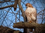 A Red-Tailed Hawk perched in a tree.