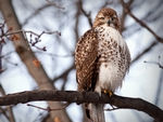 A Red-Tailed Hawk perched in a tree #2.