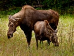 A Moose with young.