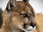 A close-up of a Mountain Lion.