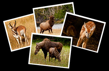 Antelope, Coyote, Elk, Moose and Whitetail Deer Photographs.