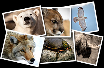Bear, Bison, Coyote, Hawk, Mountain Lion and Turtle Photographs.