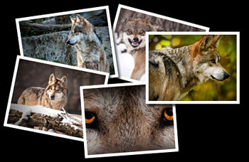 Wolf Photographs.