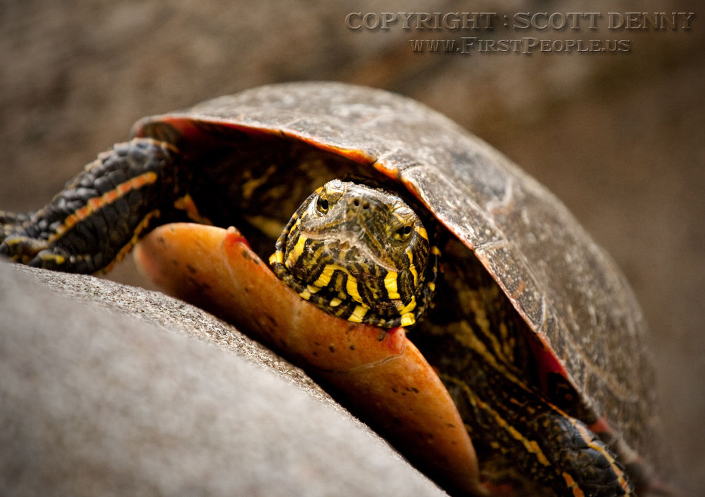 A face-on shot of a Painted Turtle (Chrysemys picta).