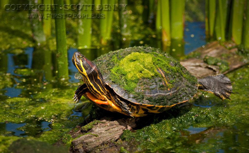 A Painted Turtle (Chrysemys picta) stretching out on a half-submerged log.