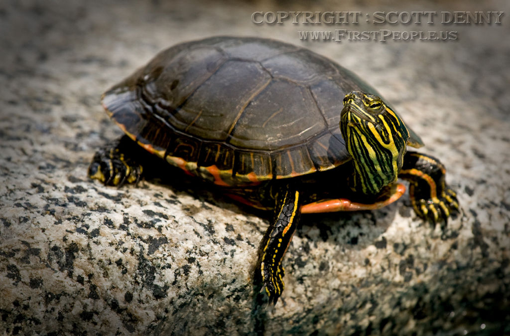 A Painted Turtle (Chrysemys picta) trying to look cute.