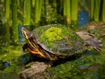 A Painted Turtle having a stretch.