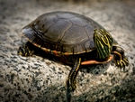 A Painted Turtle trying to be cute.