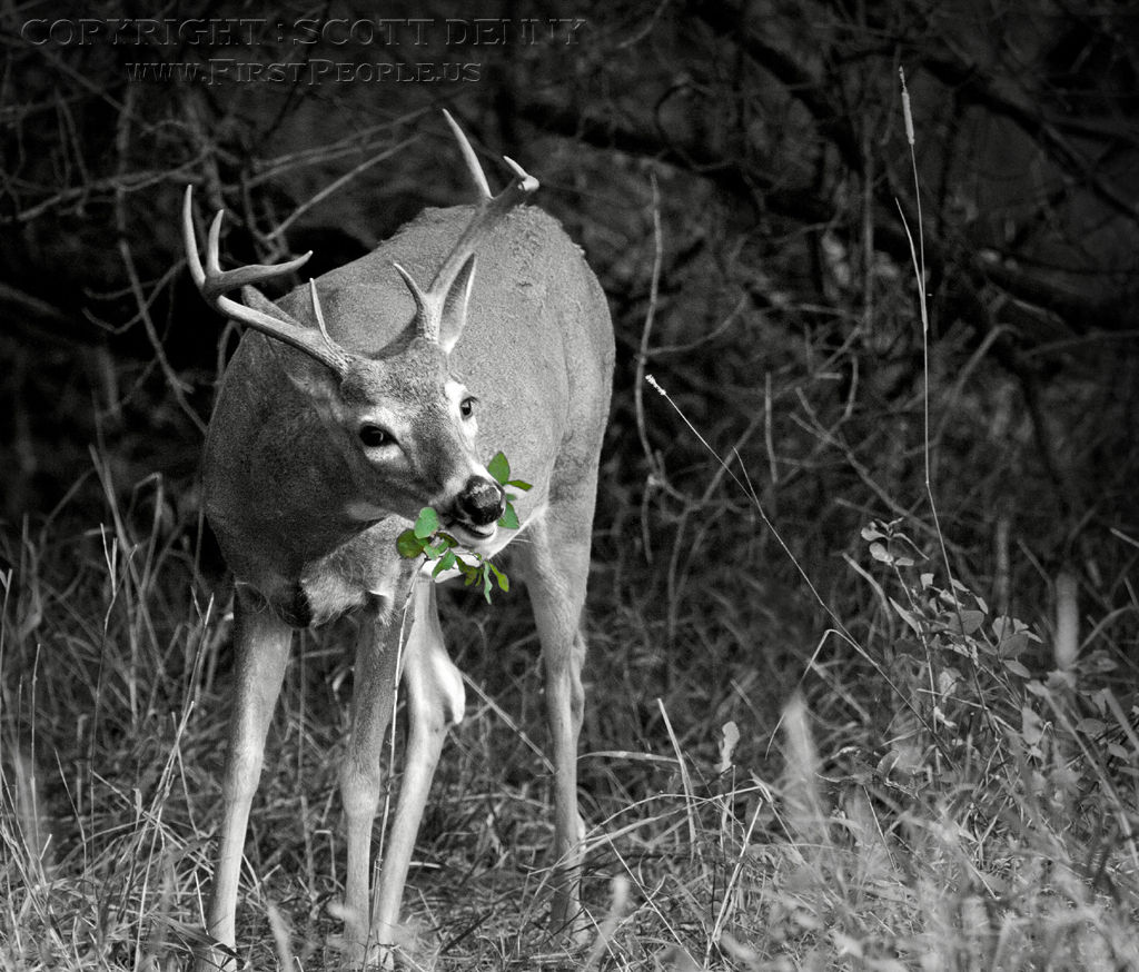 A photograph of a Whitetail Deer.