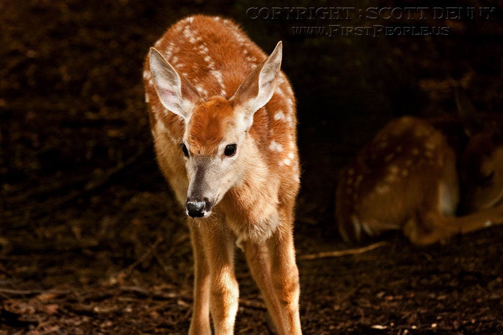 A photograph of a young Whitetail Deer.