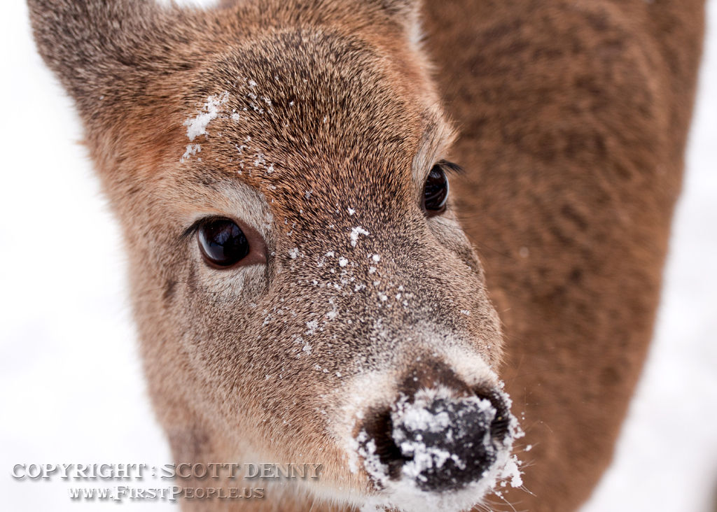 A close-up head-shot of a Whitetail Deer with snow on it's nose.