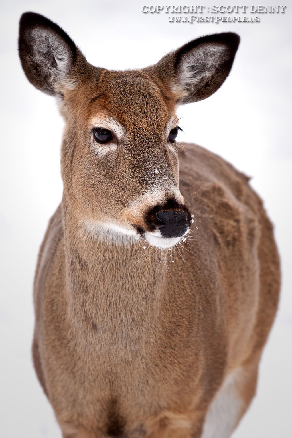 A head-on photograph of a Whitetail Deer.