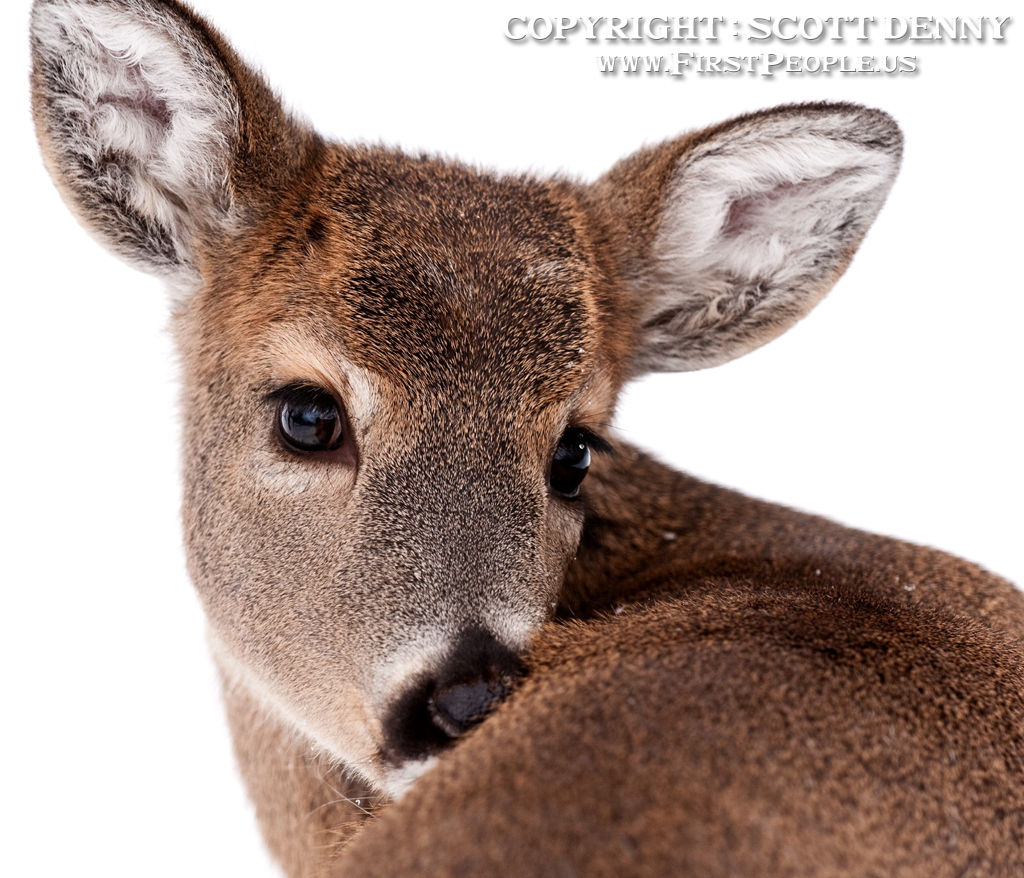 A close-up photograph of a cute looking Whitetail Deer.