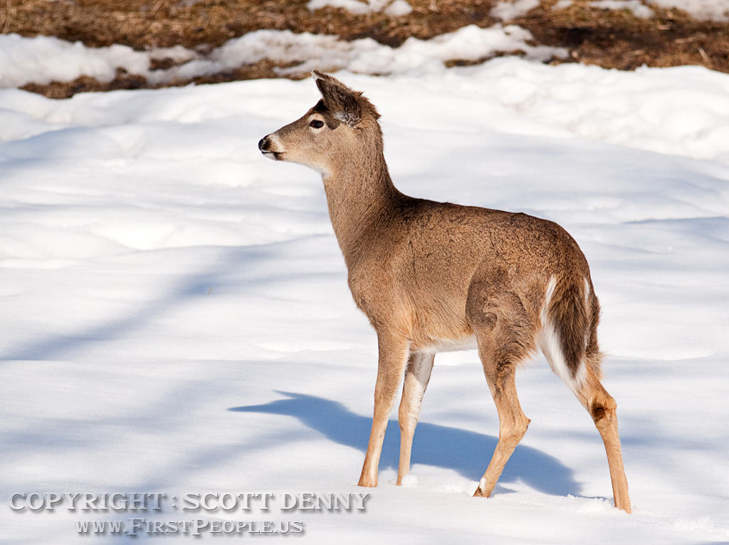 A side-view of a young Whitetail Deer in the snow.