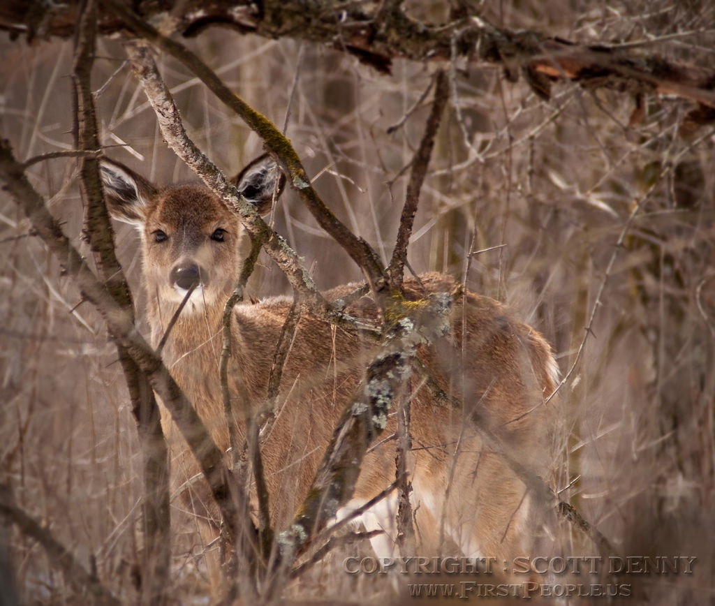 A young Whitetail Deer hiding amongst the trees.