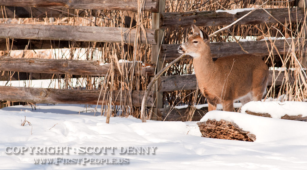 A photograph of an inquisitive Whitetail Deer in the snow.