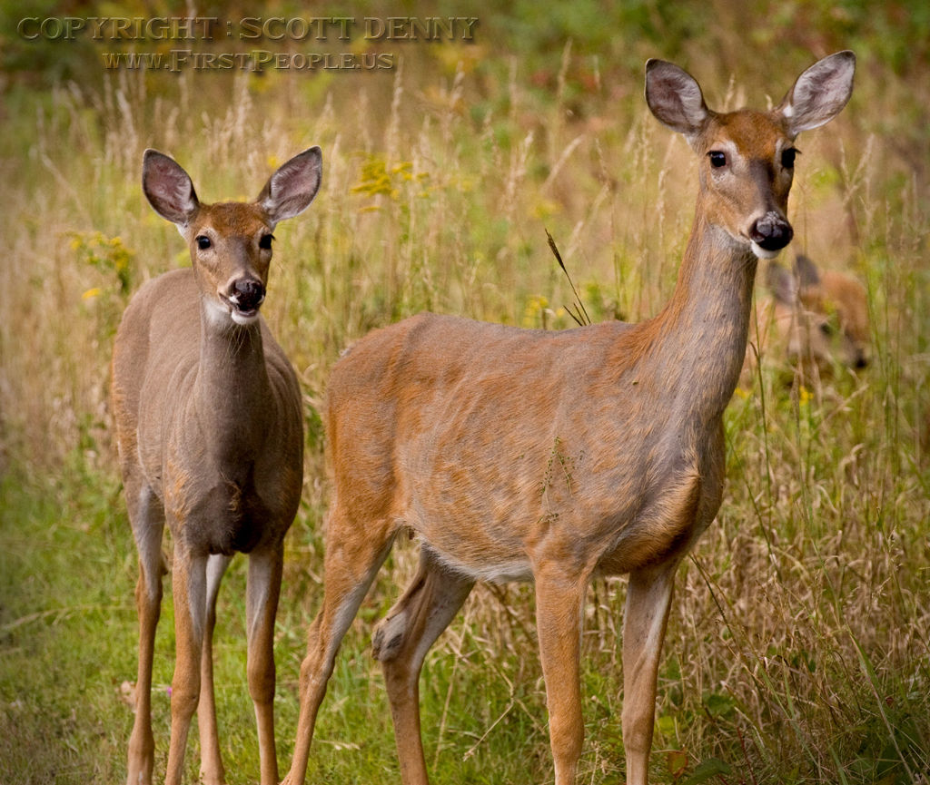 Two Whitetail Deer.