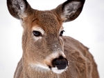 Whitetail Deer #5.