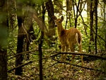 A Whitetail Deer in the woods.