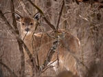 A young Whitetail Deer in the woods.