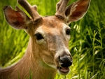 A close-up of a Whitetail Deer.