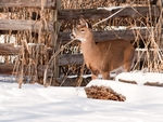 Whitetail Deer #8.