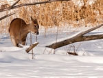 Whitetail Deer eating in the snow.