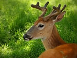 .Whitetail Deer #10
