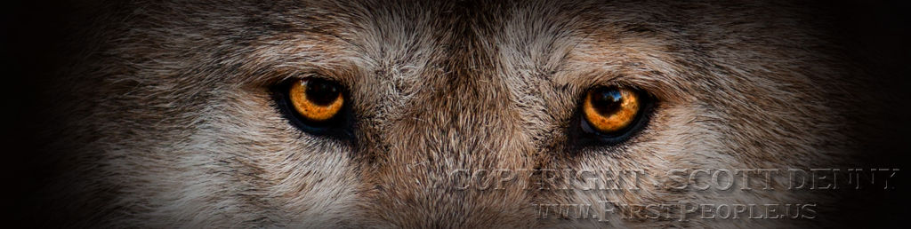 An extremely close photograph of a Mexican Gray Wolf (Canis lupus baileyi).