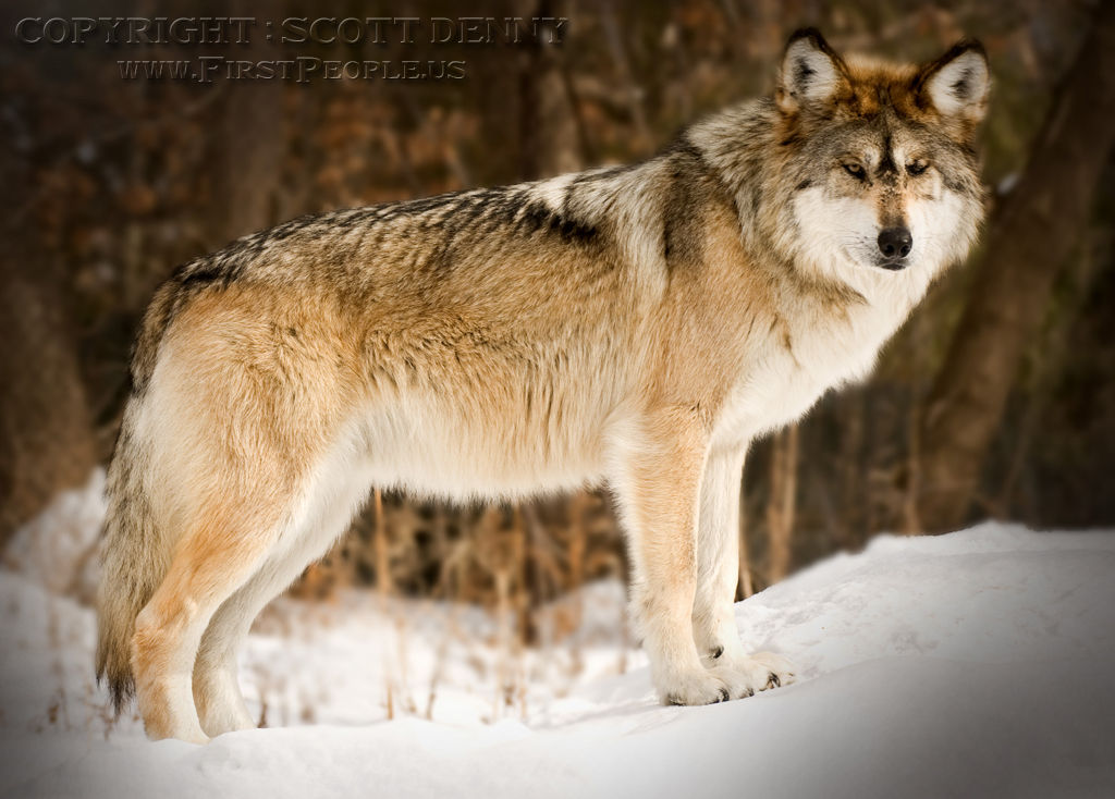 A side shot of a Mexican Gray Wolf (Canis lupus baileyi) standing in the snow.