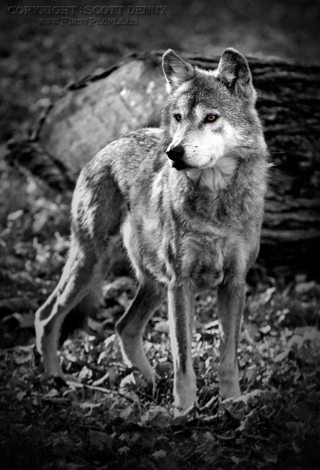 A black and white shot of a mexican gray wolf canis lupus baileyi posing
