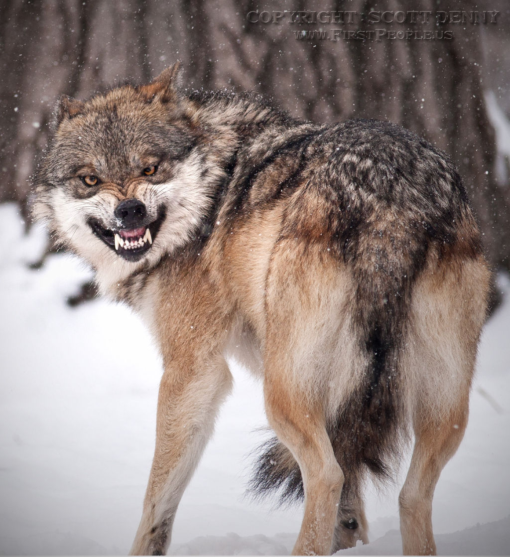 A snarling Mexican Gray Wolf (Canis lupus baileyi) in the snow.