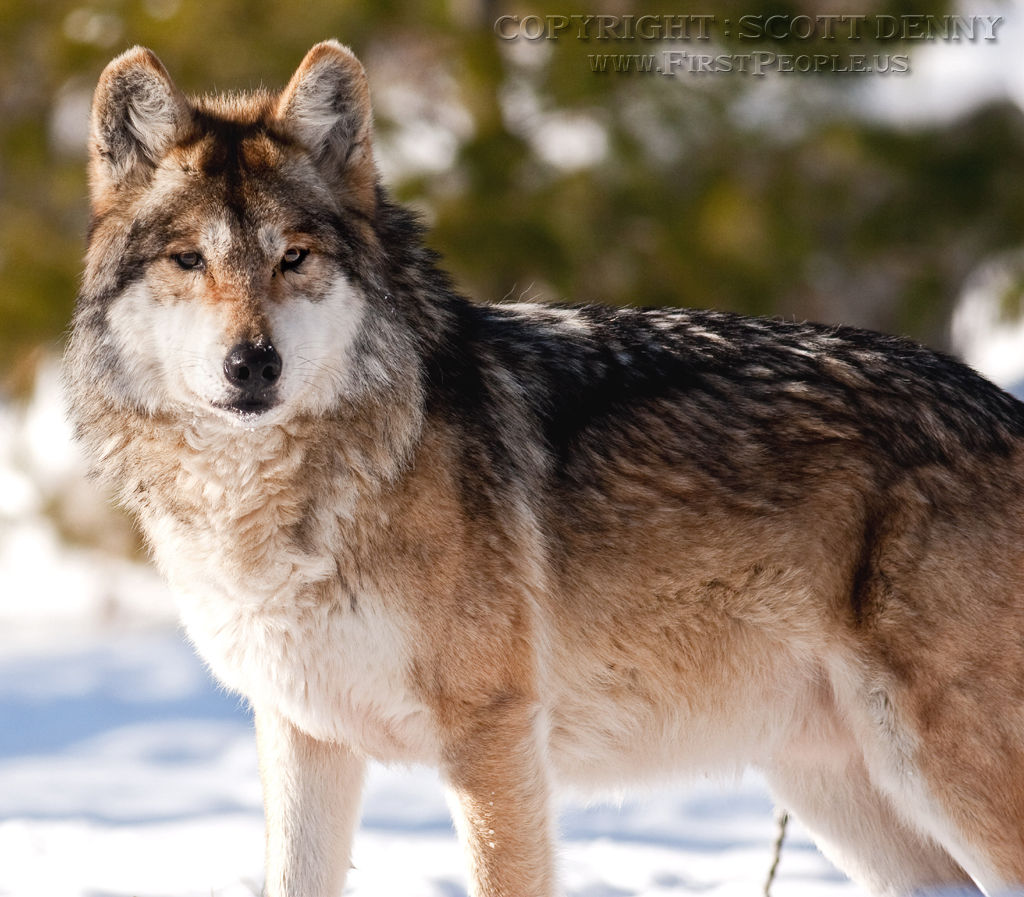 A Mexican Gray Wolf (Canis lupus baileyi) standing in the snow.