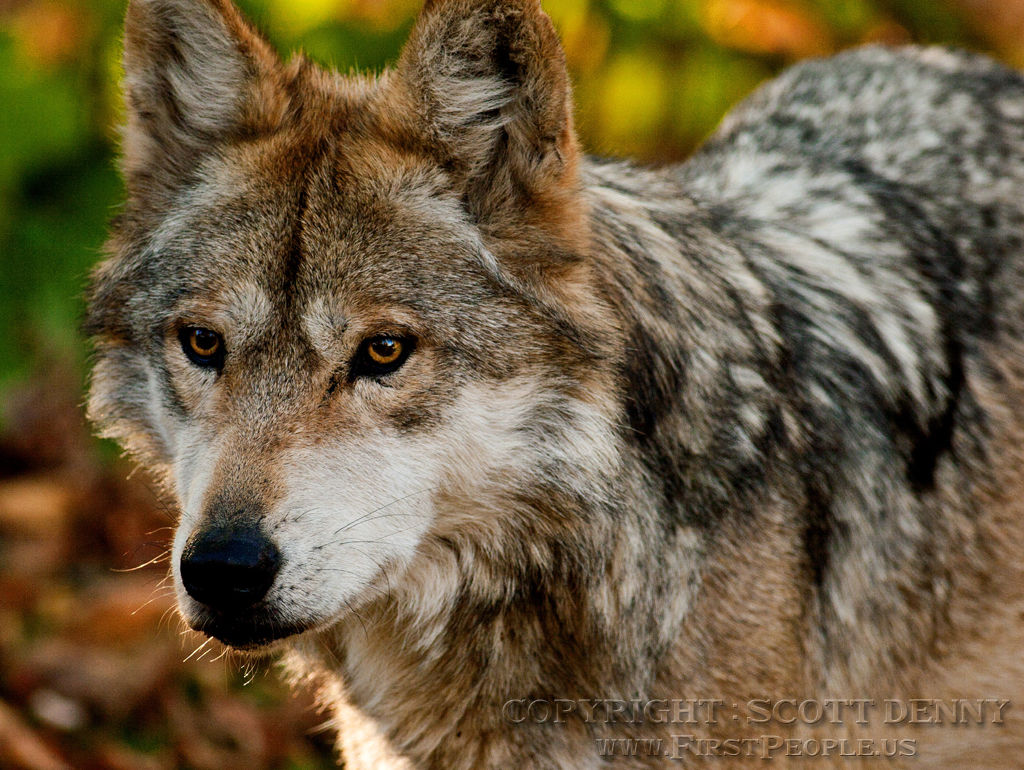 A Mexican Gray Wolf (Canis lupus baileyi) looking attentively at something.