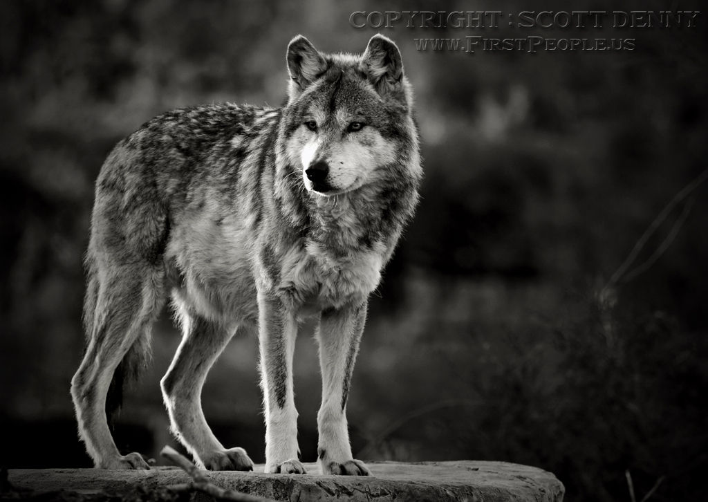 A Mexican Gray Wolf (Canis lupus baileyi) keeping watch on high ground.