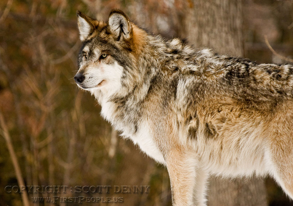 A side shot of a Mexican Gray Wolf (Canis lupus baileyi) looking at something in the distance.