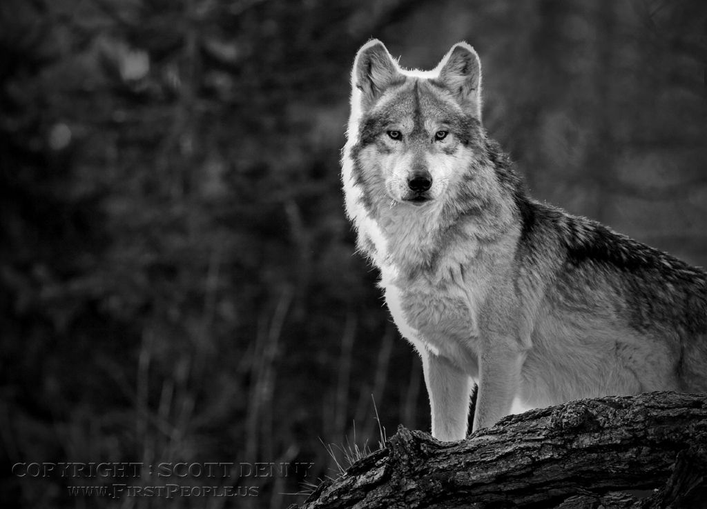 A lone Mexican Gray Wolf (Canis lupus baileyi) sitting on high ground.