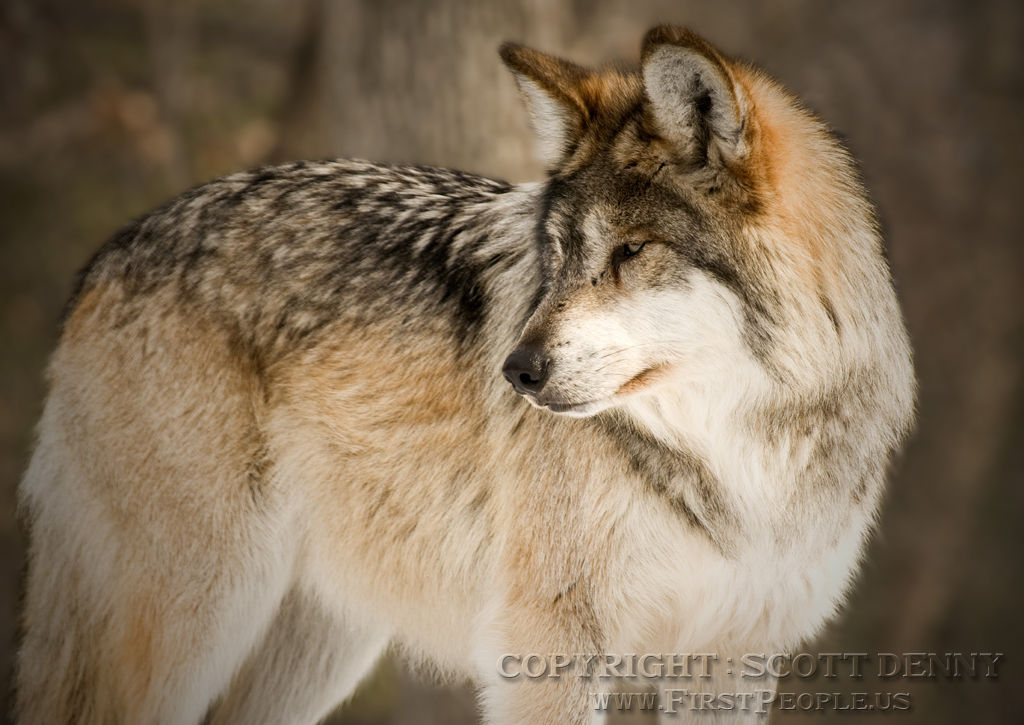 A Mexican Gray Wolf (Canis lupus baileyi) looking behind.