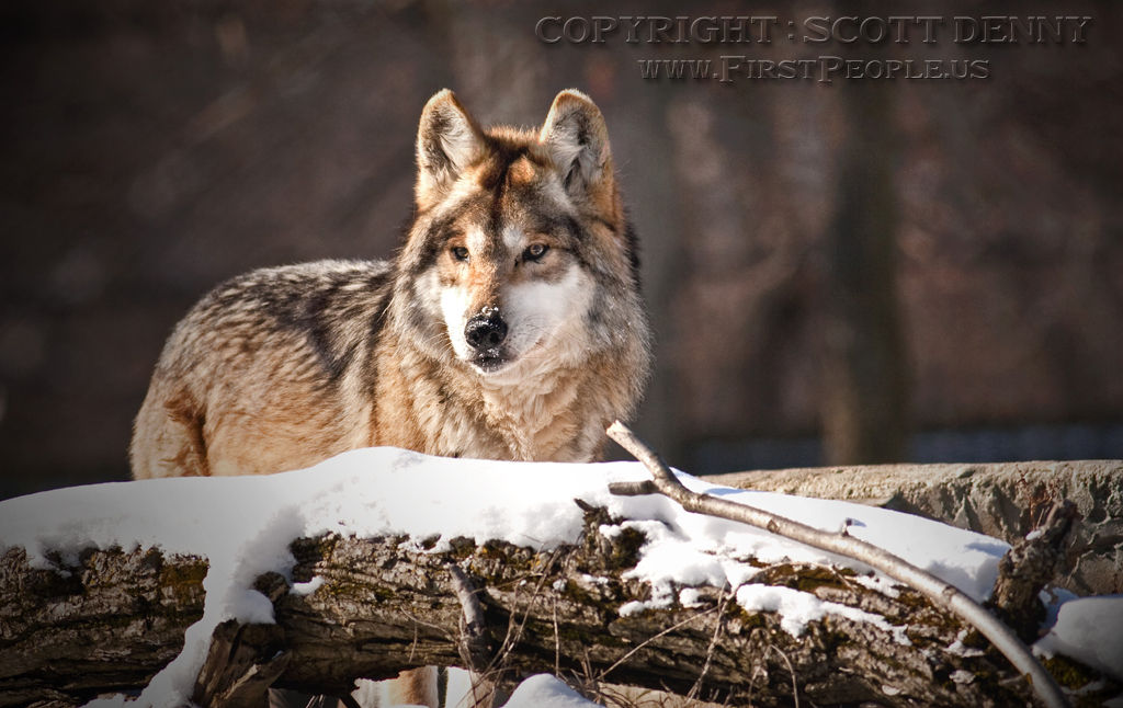 A color photograph of a Mexican Gray Wolf (Canis lupus baileyi) keeping watch.