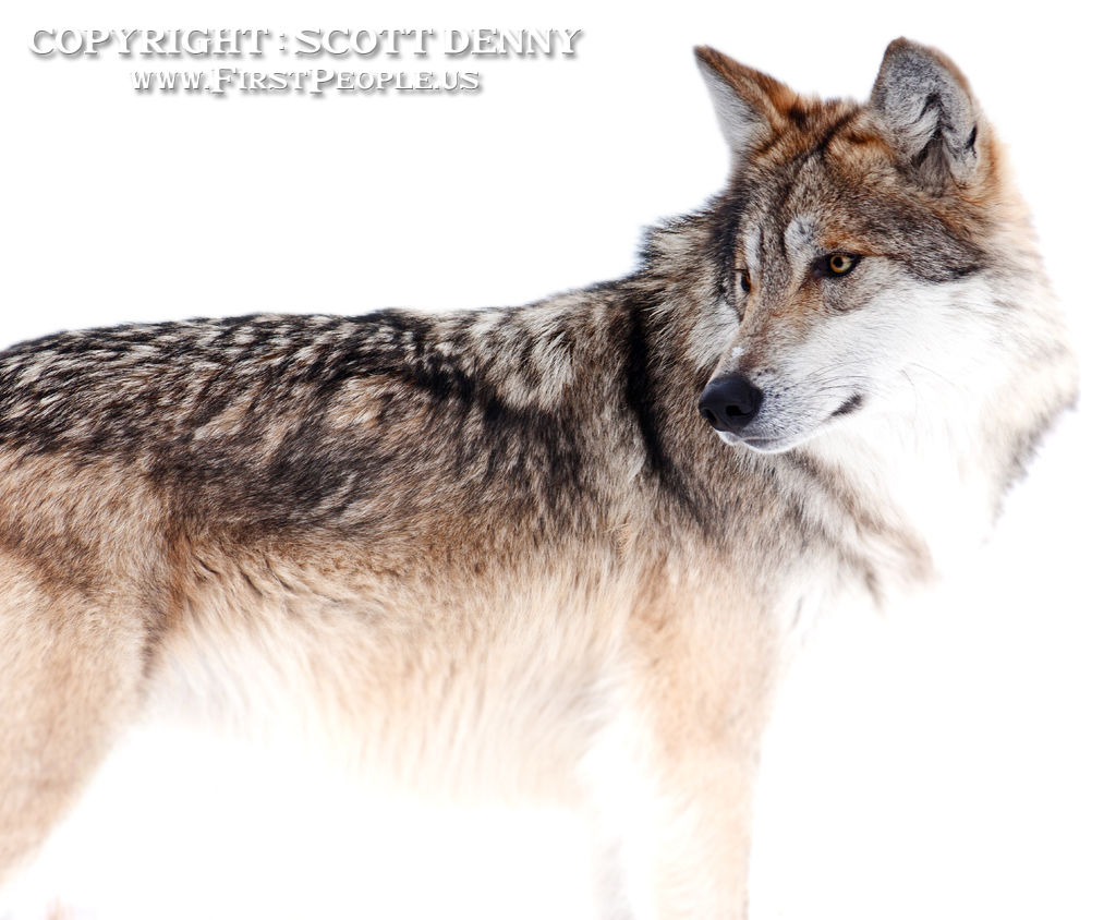A color photograph of a Mexican Gray Wolf (Canis lupus baileyi) in the snow looking back.