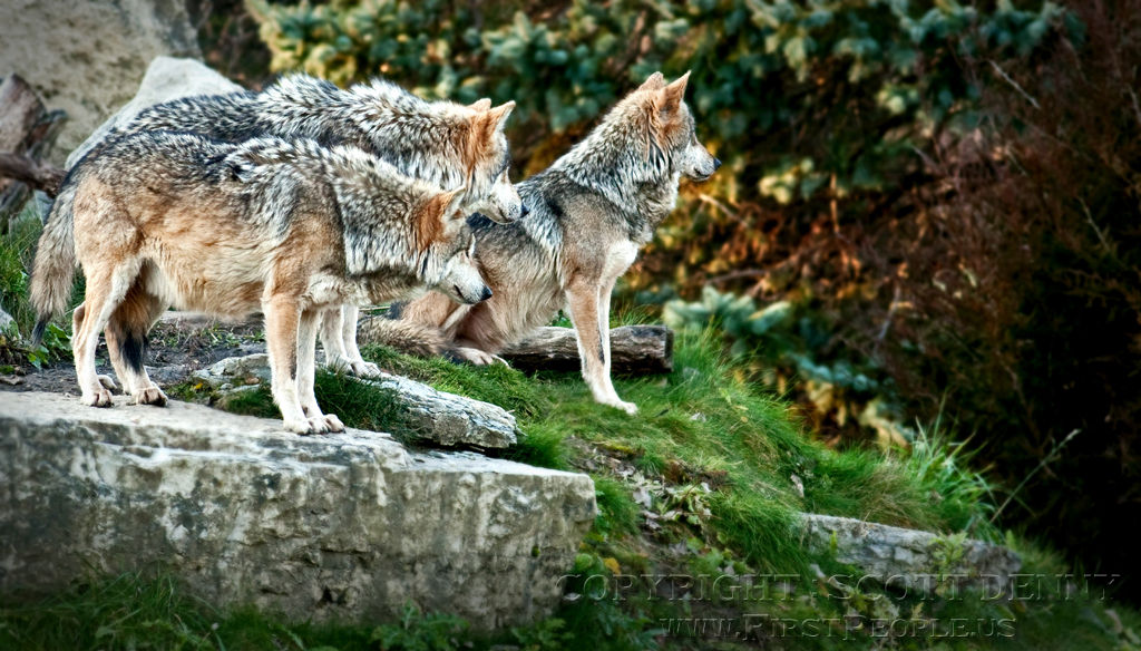 Three Mexican Gray Wolves (Canis lupus baileyi) on scout patrol.