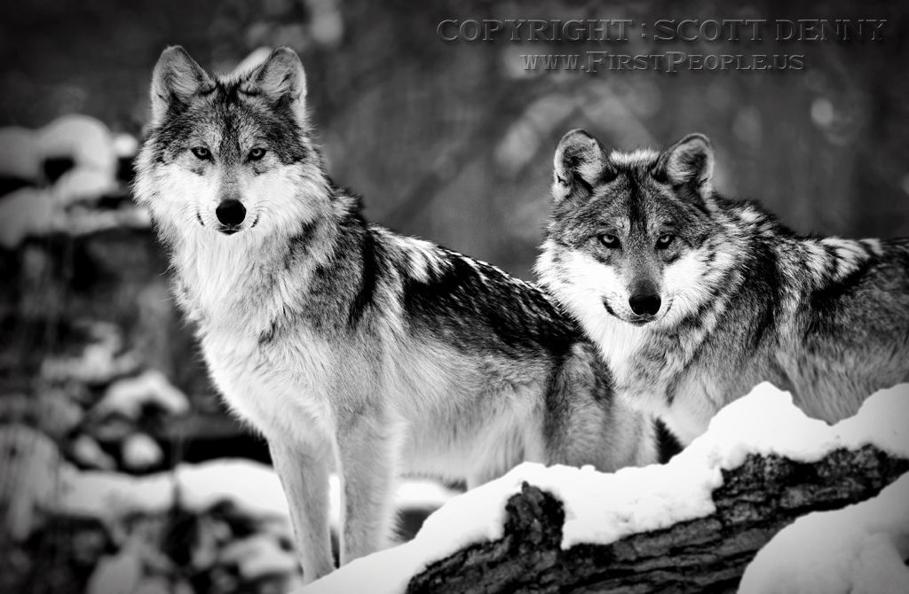 Two Mexican Gray Wolves (Canis lupus baileyi).