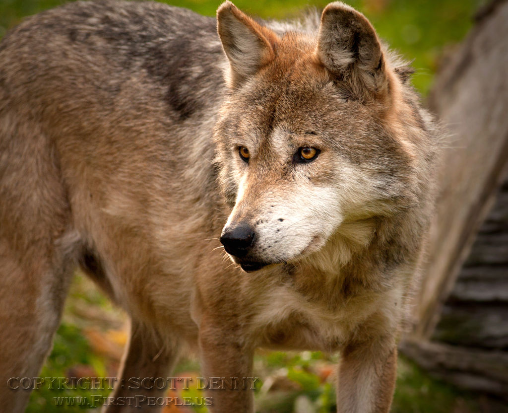 A staring Mexican Gray Wolf (Canis lupus baileyi).