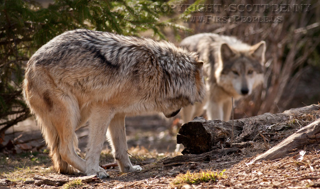 A submissive Mexican Gray Wolf (Canis lupus baileyi).